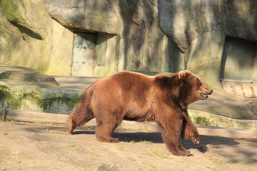 Bear, Animal, Zoo, Brown Bear, Nature, Predator, Large