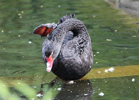 Mourning Swan, Cygnus Atratus, Black Swan, Species