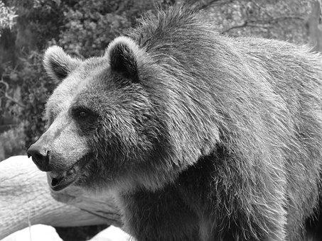 Bear, Brown, Black, Wildlife, Grizzly