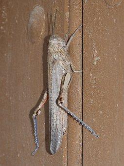 Lobster, Grasshopper, Door, Brown, Arthropod, Detail