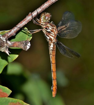 Dragonfly, Insect, Winged Insect, Flying Insect, Wings