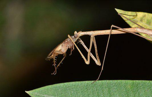 Stick Insect, Walking Stick, Insect, Bug, Insectoid