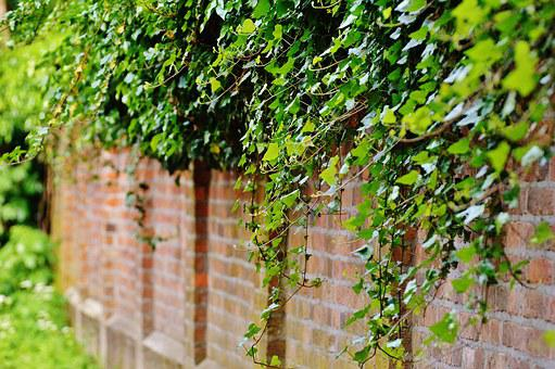 Wall, Climbing Plants, Ivy, Green, Plant, Leaves