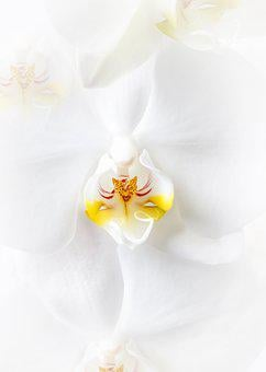 Phalaenopsis, Orchid, White, Phalaenopsis Orchid