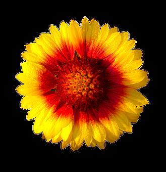 Sun Flower, Isolated Flower, Sun, Flower, Fresh, Yellow