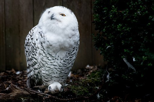 Snowy Owl, Owl, Harry Potter, Bird, Feather, Animal