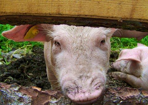 Little Piglets, Profile, Pig, Animal