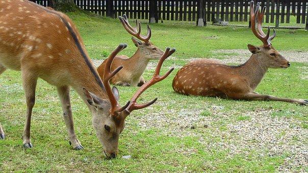 Deer, Animals, Mammals, Grazing, Grass, Eating, Feeding
