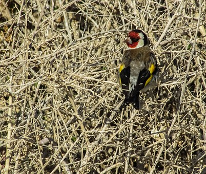 Goldfinch, Bird, Carduelis, Nature, Wildlife, Songbird