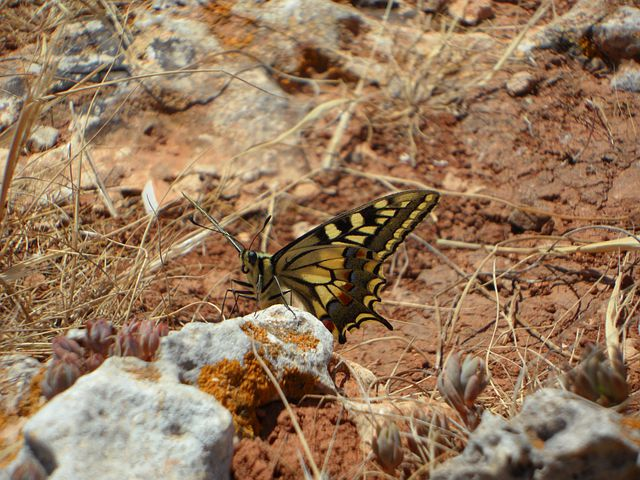 Butterfly, Dovetail, Insect, Animal, Sit, Fauna