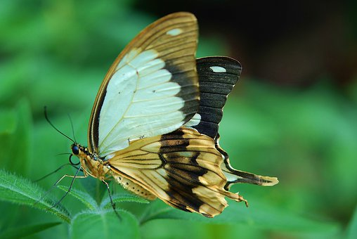 Butterfly, Dovetail, Insect, Yellow, Macro, Green