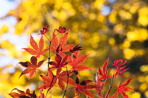 Maple, Autumn, Leaf, Red, Yellow, Leaves, Coloring