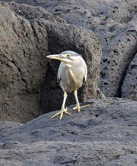 Little Heron, Bird, Wader, Striated Heron
