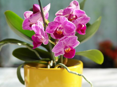 Orchid, Flower, Pink, Blossom, Bloom, Purple, Yellow