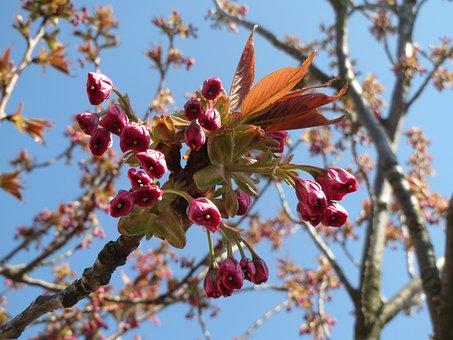 Prunus Serrulata, Japanese Cherry, Hill Cherry