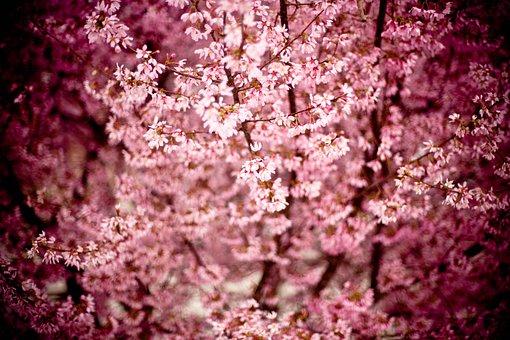 Japanese Cherry, Prunus Serrulata, Hill Cherry
