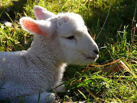 Lamb, Sheep, Baby, Wool, Cute, Agriculture, Young