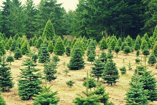 Christmas, Trees, Xmas, Farm, Seasons, Holidays