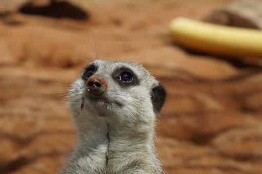 Meerkat, Head, Portrait, Face, Close, Attention, Cute