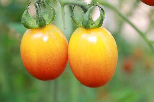 Tomatoes, Summer, Fruit, Orange Tomatoes