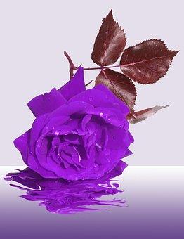Mourning, Flower, Memory, Condolences, Rose, Purple