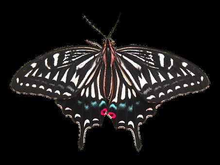 Butterfly, Butterfly Isolated, Isolated Butterfly, Bug