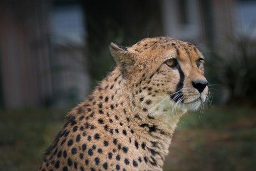Cheetah, Zoo, Africa, Head, Wildcat, Predator, Nature