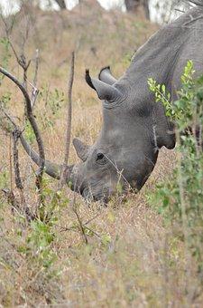 Rhino, Africa, Savannah, South Africa