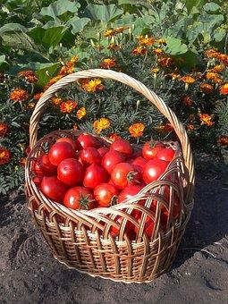 Harvest, Basket, Tomato, Garden, Vegetable Garden