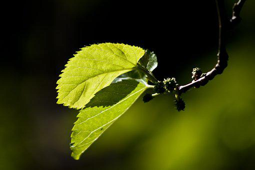 Leaves, Reverse Light, Mulberry, Branch, Green