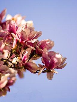 Magnolia, Blossom, Bloom, Spring, Tree, Flower, Pink