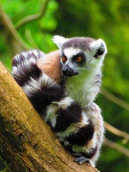 Ring Tailed Lemur, Lemur, Mammal, Madagascar