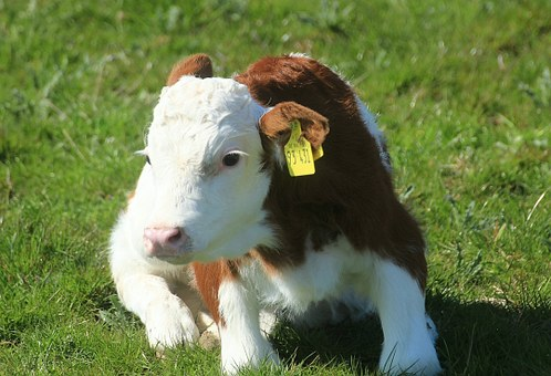 Calf, Holstein Cattle, Cow, Holstein Cow, Milk Cow