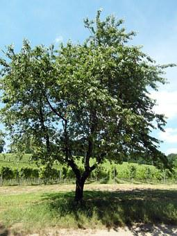 Odenwald, Cherry, Fruit, Fruit Tree, Wine, Summer