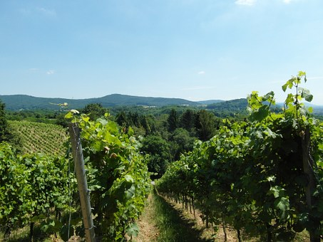 Vineyard, Odenwald, Wine, Summer