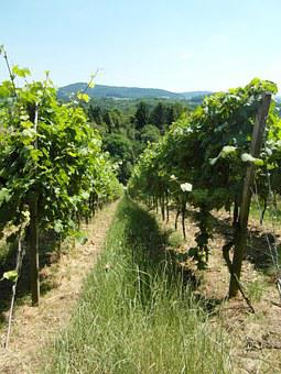 Vineyard, Vines, Wine, Hill, Odenwald, Summer