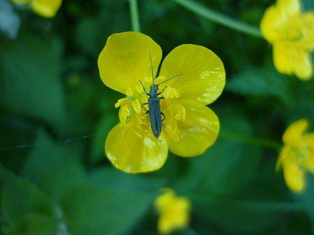 Beetle, Dor Beetles, Black Beetle, Insect, Animal