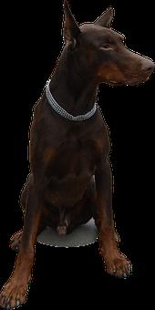 Isolated, Dog, Doberman, Animal, Pet, Black, Purebred