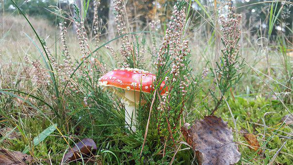 Mushroom, Red With White Dots, Autumn, Forest, Red