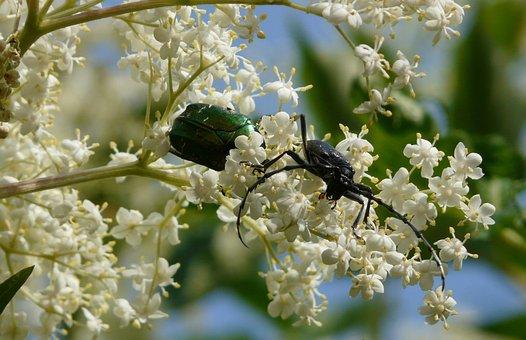 Cerambyx Cerdo, The Guldbagge Award Fabulous, Beetles