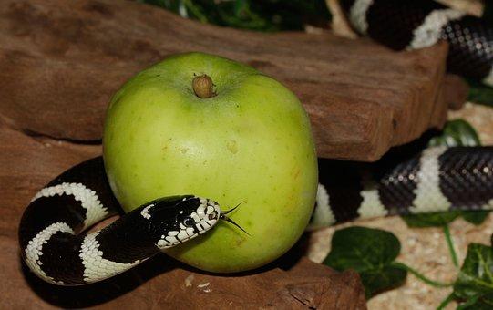 Chain Natter, Snake, California Getula, King Snake