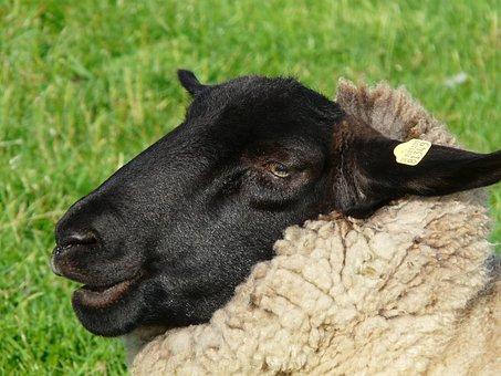 Sheepshead, Face, Sheep, Portrait, Fur, Black, Curious