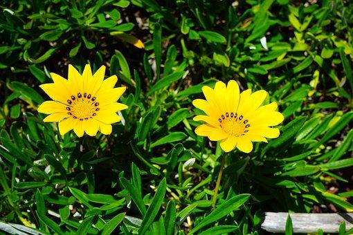 Gazania, Flowers, Yellow, Bright Yellow, Lemon