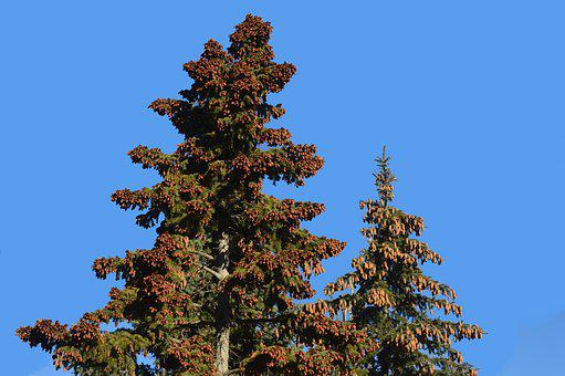 Pine Cones, Tree, Evergreen, Forest, Needles, Green