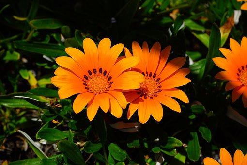 Gazania, Flowers, Yellow, Orange, Bloom