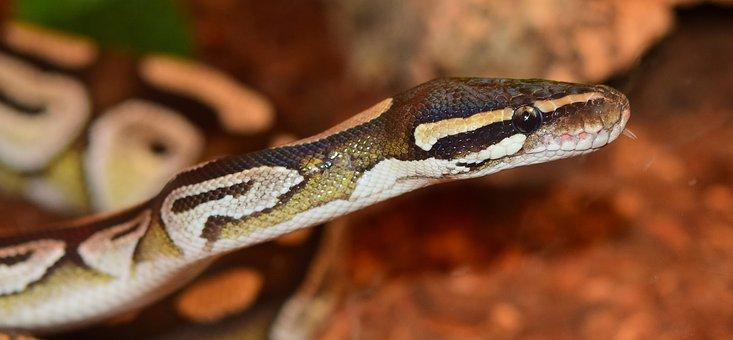 King Python, Mojave, Snake, Python, Constrictor, Animal