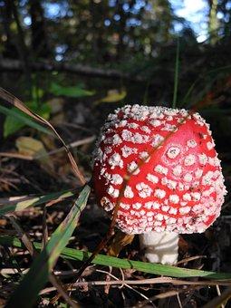 Mushroom, Fly Agaric, Amanita Muscaria