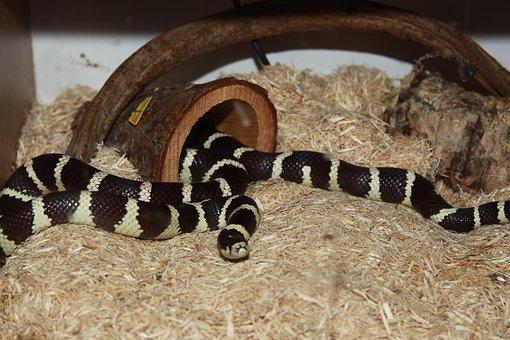 Snake, Californian, King Snake, Reptile, Banded