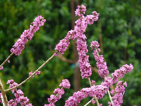 Daphne, Colorful, Color, Plant, Flower, Blossom, Bloom