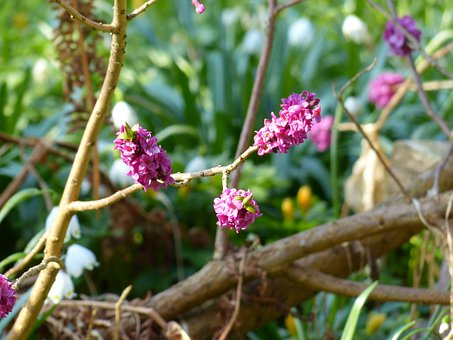 Daphne, Smell, Bloom, Violet, Purple, Branch, Plant